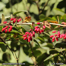 Gewöhnliche Berberitze (Berberis vulgaris), Früchte (Beeren)