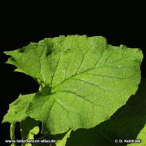 Himalayascharte, Saussurea costus, Blatt