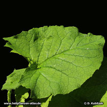 Himalayascharte (Saussurea costus) Blatt