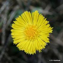 Huflattich (Tussilago farfara), Blütenkopf (Blütenkorb)