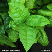 Grüner Tee (Camellia sinensis)