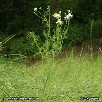 Echte Kamille (Matricaria recutita), Wuchsform