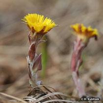 Huflattich  (Tussilago farfara): Die Blüten erscheinen vor den Blättern.chsform