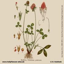 Rot-Klee; Trifolium pratense; Historisches Bild
