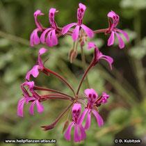 Pelargonium reniforme, Blüten