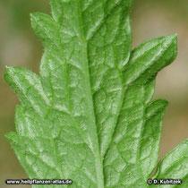 Echtes Eisenkraut (Veronica officinalis), Blattunterseite