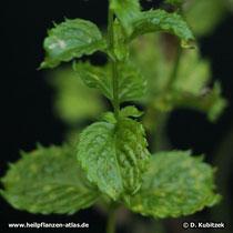 Krauseminze (Mentha aquatica var. crispa)