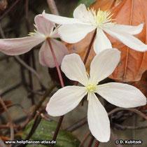 Blüten der Armands Waldrebe (Clematis armandii)