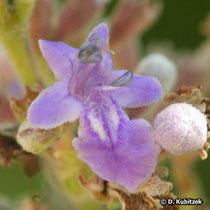 Mönchspfeffer (Vitex agnus-castus), Blüte