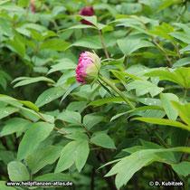 Strauchpäonie (Paeonia x suffruticosa), Strauch mit Blütenknospen