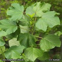 Hibsicus Blätter