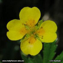 Blutwurz (Potentilla erecta), Blüte