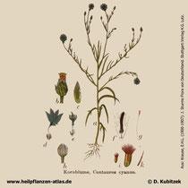 Kornblume (Centaurea cyanus), historisches Bild