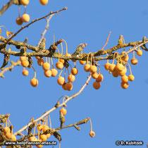Ginkgo (Ginkgo biloba) Samen im Herbst