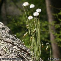 Huflattich (Tussilago farfara), Samenstände