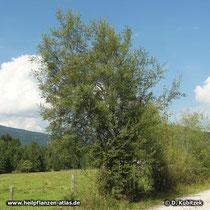 Reif-Weide (Salix daphnoides), Standort hier nahe der Isar (Oberbayern)