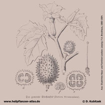 Weißer Stechapfel; Datura stramonium