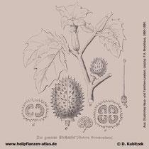 Weißer Stechapfel; Datura stramonium; Historisches Bild
