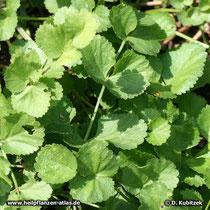 Anis (Pimpinella anisum), Blätter