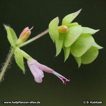 Diptamdost (Origanum dictamnus)