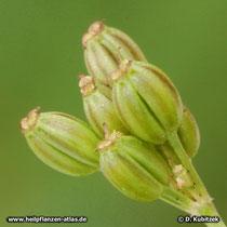 Kümmel (Carum carvi), unreife Früchte