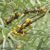 Sanddorn (Hippophae rhamnoides): Zweig mit Früchten