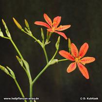 Leopardenblume (Iris domestica, synonym: Belamcanda chinensis) Blütenstand