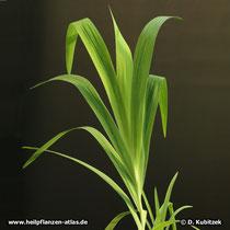 Leopardenblume (Iris domestica, synonym: Belamcanda chinensis), Blätter