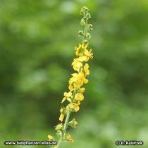 Kleiner Odermennig (Agrimonia eupatoria), Blütenstand