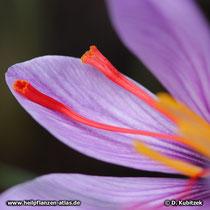Echter Safran (Crocus sativus), Narbenschenkel