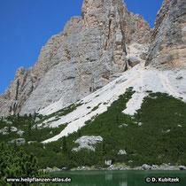 Die Latschenkiefern (Pinus mugo) wachsen hier gegen Geröllfelder an (Dolomiten, Italien)