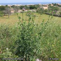 Mariendistel (Silybum marianum), Standort hier am Wegrand auf Mallorca