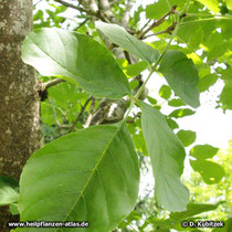 Schnabel-Esche (Fraxinus rhynchophylla), Blatt
