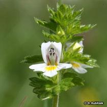 Großer Augentrost (Auphrasia officinalis), Blüte