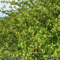 Gewöhnliche Berberitze  in Blüte