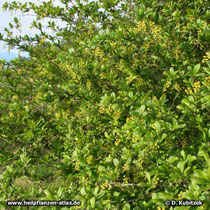 Gewöhnliche Berberitze (Berberis vulgaris) in Blüte