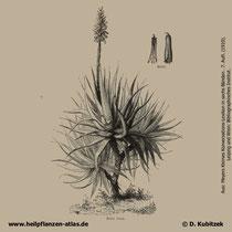 Aloe vera, Aloe barbadensis