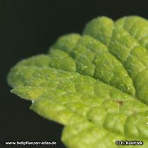 Haare auf der Blattoberseite (Melisse, Melissa officinalis)