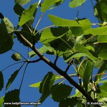 Die Blätter dier Zitter-Pappel sitzen an Kurztrieben