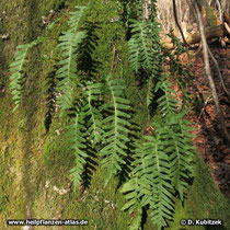 Tüpfelfarn (Polypodium vulgare): An diesem Baum sitzt der Farn dort, wo sich auch viel Moos gebildet hat.