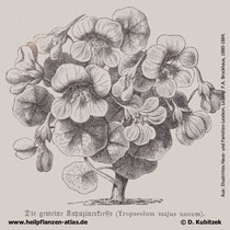 Große Kapuzinerkresse (Tropaeolum majus), historische Grafik