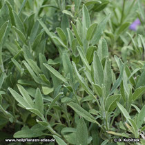 Spanischer Salbei (Salvia lavandulifolia), Wuchsform