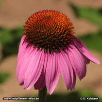 Purpurfarbener Sonnenhut (Echinacea purpurea)