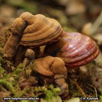 Glänzender Lackporling (Ganoderma lucidum). Auf dem rechten Pilz ist der Sporenstaub abgewischt. Dort kommt die glänzende, braunrote Farbe zum Vorschein.