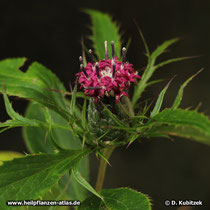 Atractylodes macrocephala (Großköpfige Actractylodes), Blütenstand (Bütenkorb) zu Beginn der Blüte