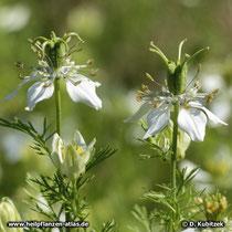 Echter Schwarzkümmel (Nigella sativa), Blüte mit wachsender Samenkapsel