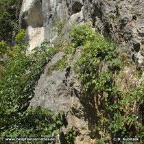 Der Hopfen kann auch an einem bewachsenen Felsband entlangklettern, wie hier an einem Felsen über der Donau bei Regensburg (Bayern).