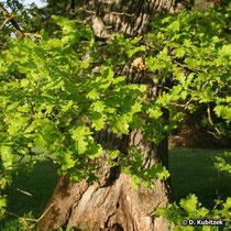 Borke einer alten Stiel-Eiche (Quercus robur).