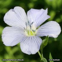 Saat-Lein (Linum usitatissimum), Blüte