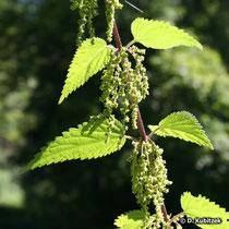 Grosse Brennnessel (Urtica dioica), Blütenstände